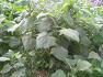 제주 도시농업 텃밭 우영밭 야콘 씨앗(뇌두) 무료 나눔
