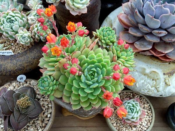 데레사 꽃