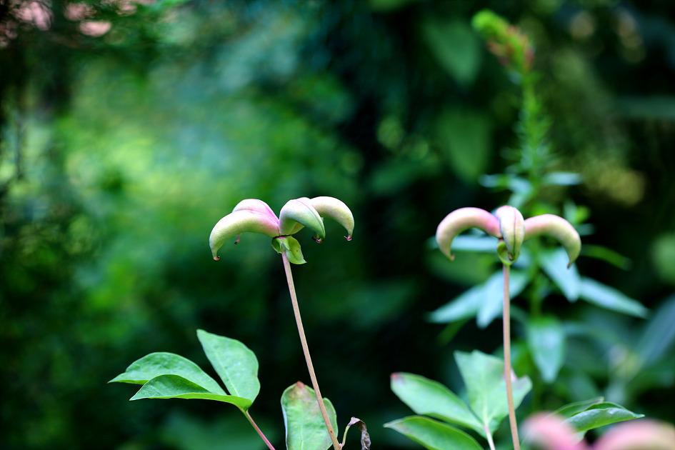 산매자 열매가 익고 있다.